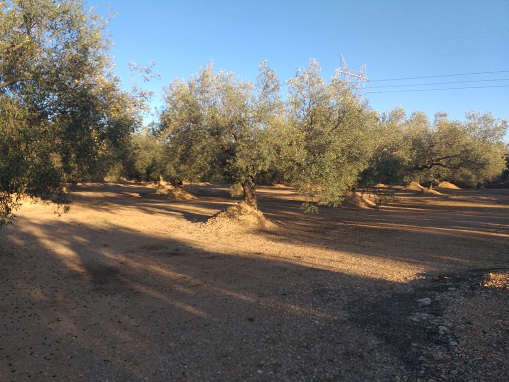 Solar urbano  Cv-11. Finca de olivos en produccion y casa de campo