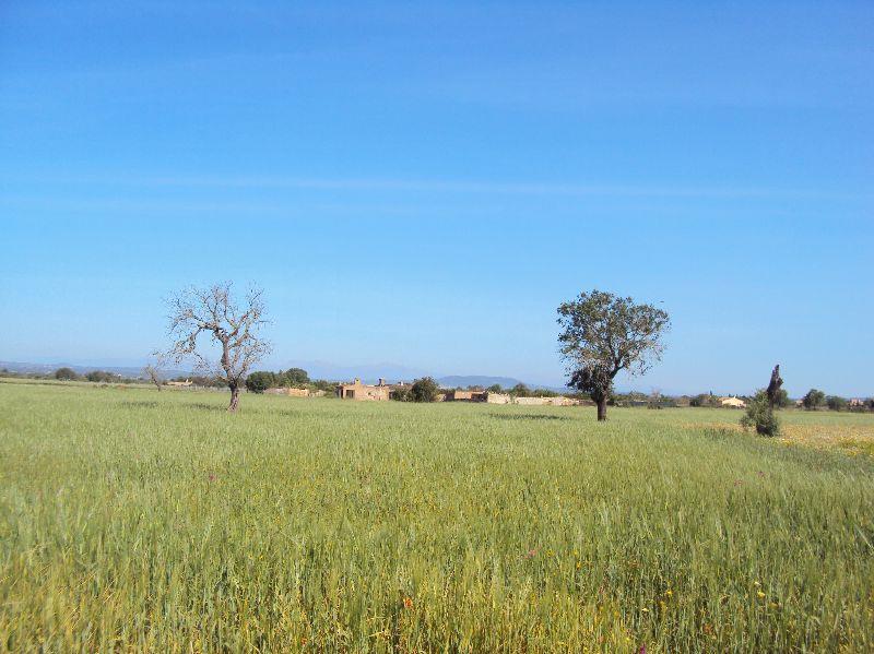 Area edificabile urbana  Son prohens de felanitx. Parcela con fácil acceso y muy buena tierra para el cultivo. con
